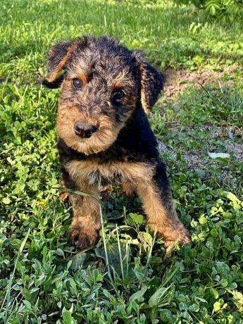 Airedale Terrier puiuti