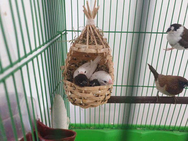 Pescăruși japonezi