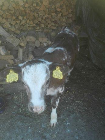 Vând vitea albastru belgian, 2 luni, rasa de carne