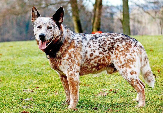 Продаются щенки хилера (Австралийская пастушья собака)