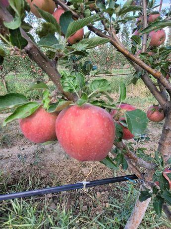 Продам яблоки (оптом)