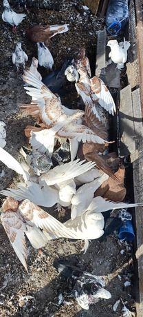 Продам домашних голубей
