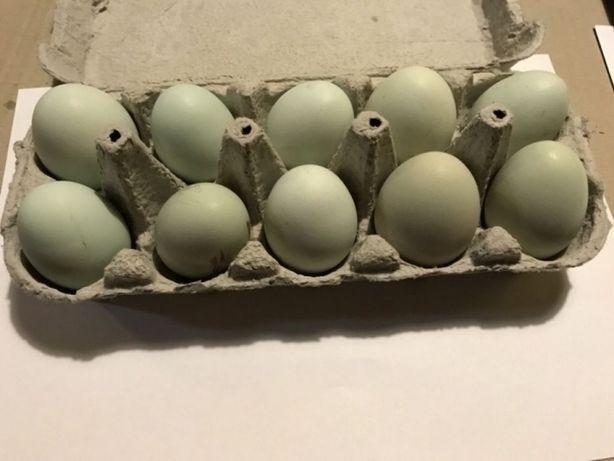 Vând oua Araucana pentru incubat