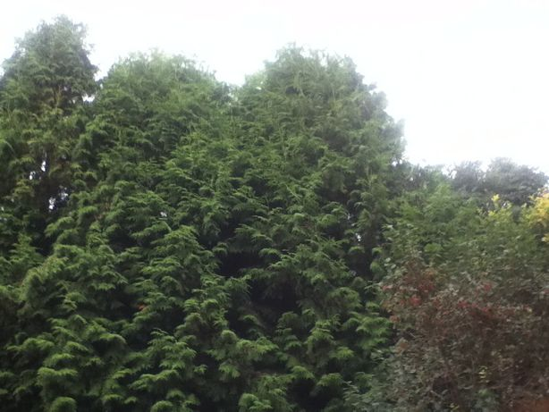 Срочное предложение продам ростки туи(хвойное растение)