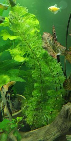 Аквариумное растение Кабомба Каролинская