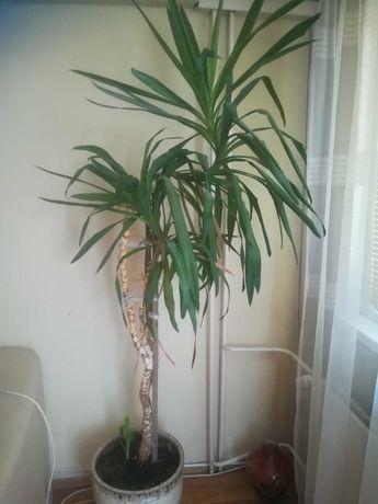 Прекрасна  палма-Юка
