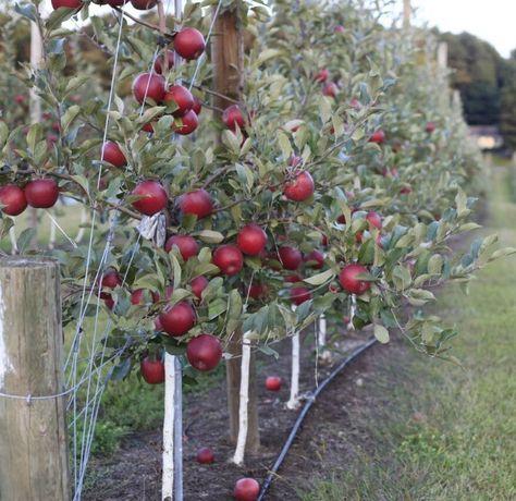 Grădinar tăieri pomi fructiferi si copaci , stropiri