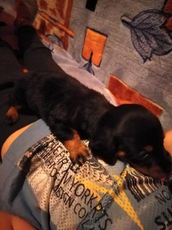 Пропала собака такса по кличке Белла в роене Путрема прошу вернуть
