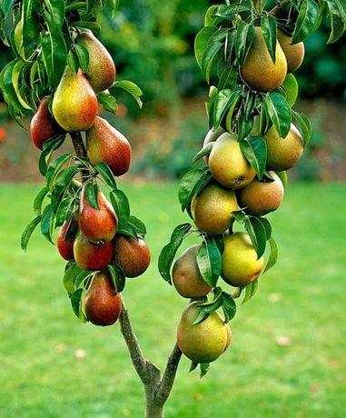 Саженцы плодовых деревьев - яблони, груши, абрикос, персик,черешня, и