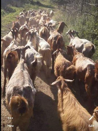 Vând turmă de capre