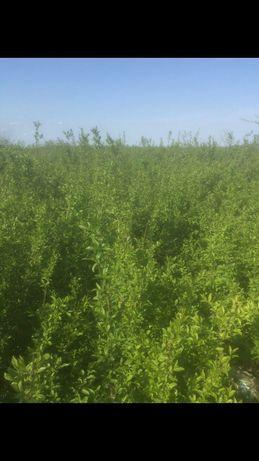 Lemn câinesc (Ligustrum vulgare)