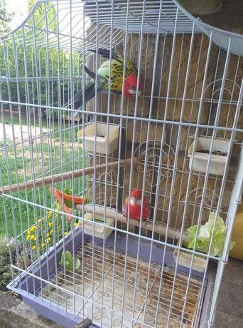 Papagali rozella