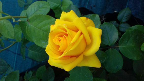 Рози за засаждане които се прихващат