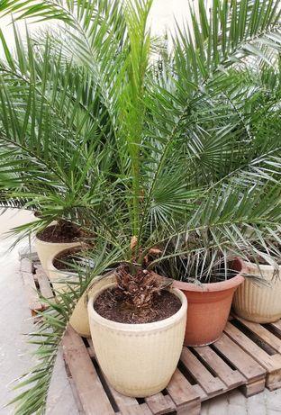 vand palmier Phoenix