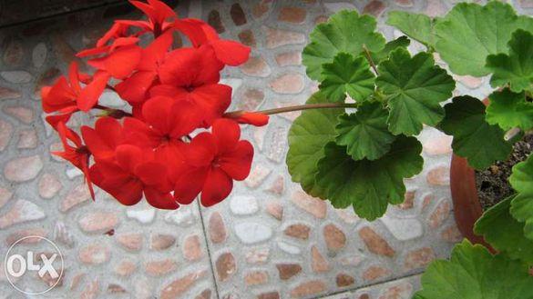 резници от мушкато различни цветове бяло, червено, сладко розово,оранж