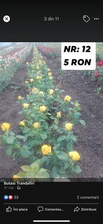 Trandafiri  altuiti