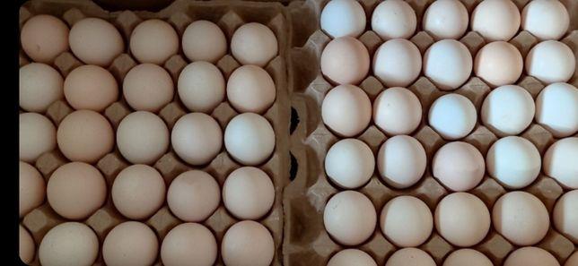 Яйцо инкубационное бройлер цеплята