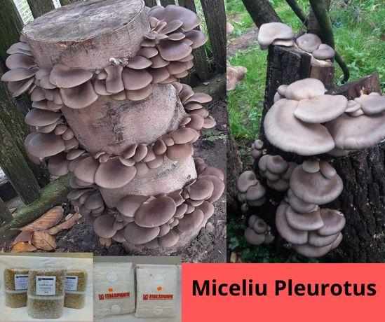 Miceliu pentru Pleurotus (Burete de Fag)