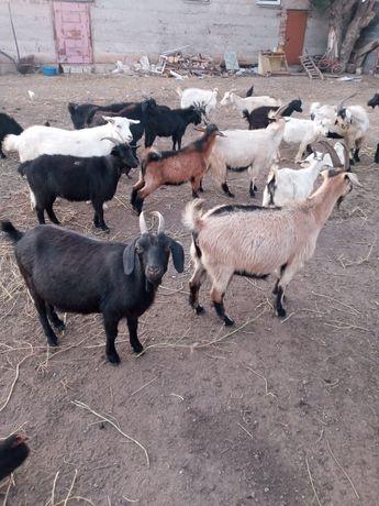 Продаётся козы .