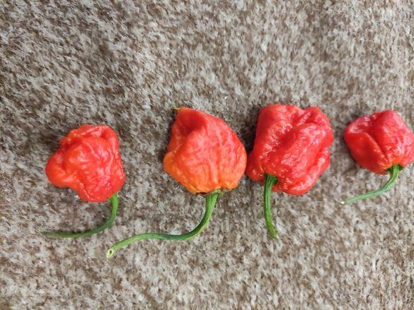 Продавам семена от Karolina reaper и други люти чушки