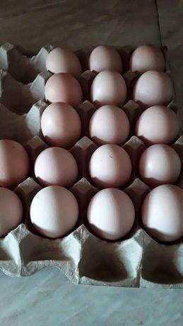 Инкубационое яйцо бройлер Кросс Арбор.