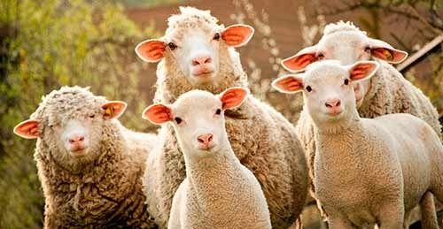 Жас ургашы 2-3 жасар семиз койлар. 2-3 годовалые овцематки, упитанные.