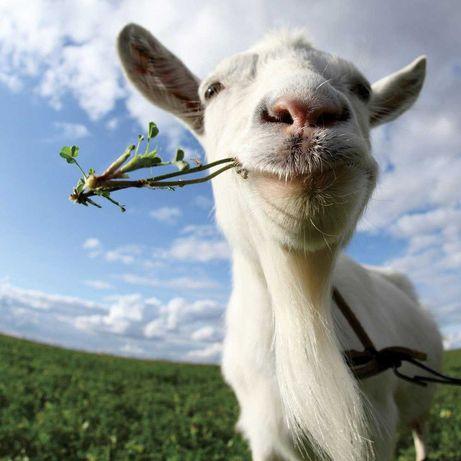 Продам молочных коз