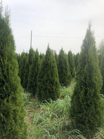 Питомник хвойных, лиственных растений
