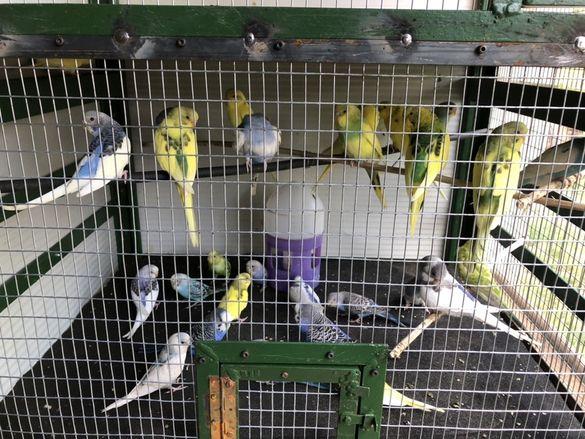 Продавам Вълнисти папагали всички цветове