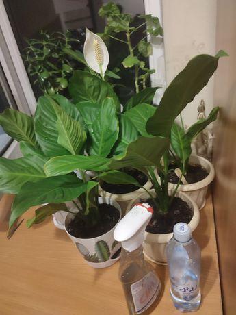 Продаю цветы,женское счастье, отлично на подарок