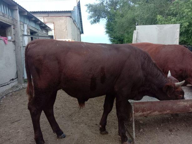 Продаю 1,5 годовалого бычка. Двух коров. Тёлку 2,5 года.