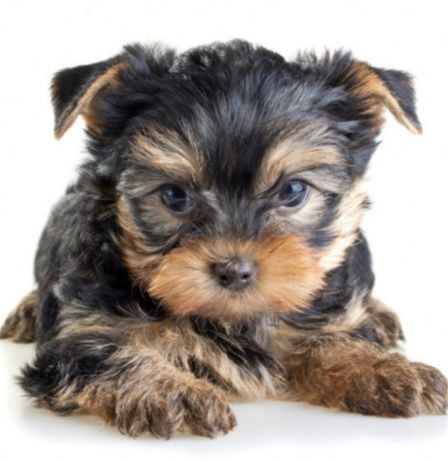 Продается щенок йоркширского терьера.
