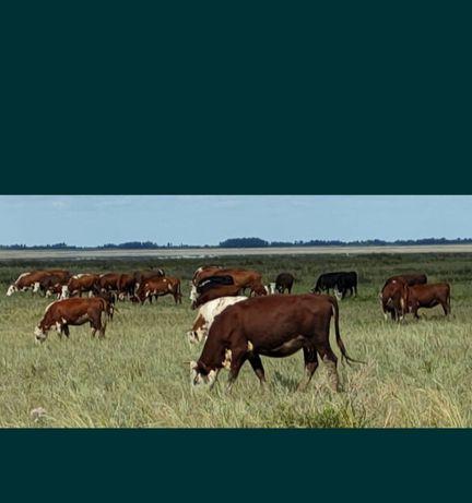 Продам стельных коров
