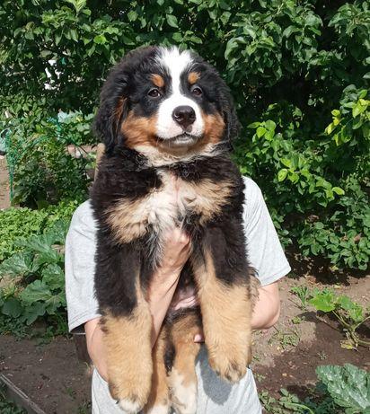 Продается щенок бернского зенненхунда