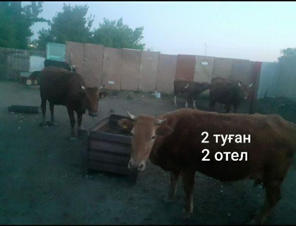 Продам коров с телёнками.  Коровы все молодые