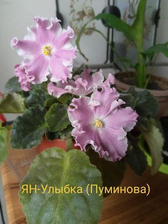 Фиалка   розовая