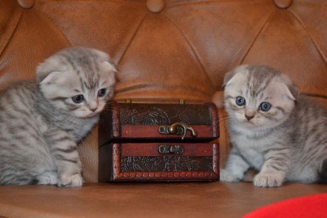 Шотландские серебристые котята тигрята