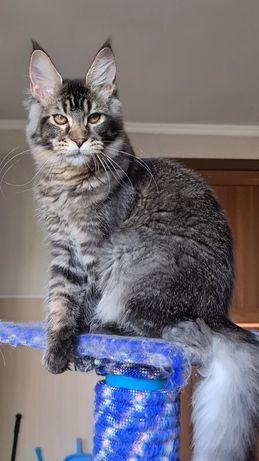 Котик мейн-кун Шаман