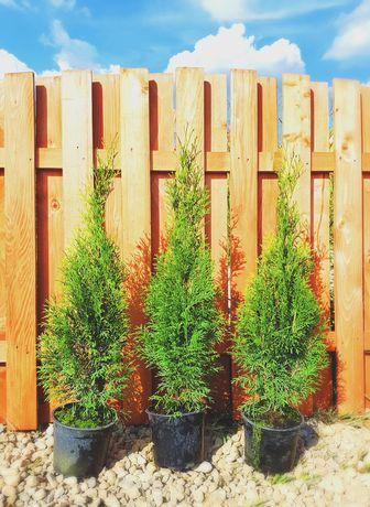 Tuia smaragd 50-65 cm si Leylandii pentru gard viu
