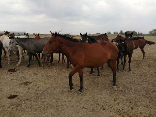 Продам-Лошадь, Кобылу