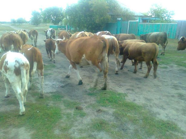 Cкот оптом крс 23 шт,корова, бык, молодняк. 500 у.е.