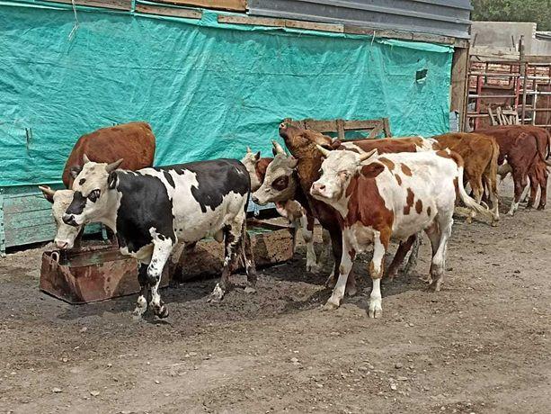 Продам бычков (бузауларды сатамын) цена договорная