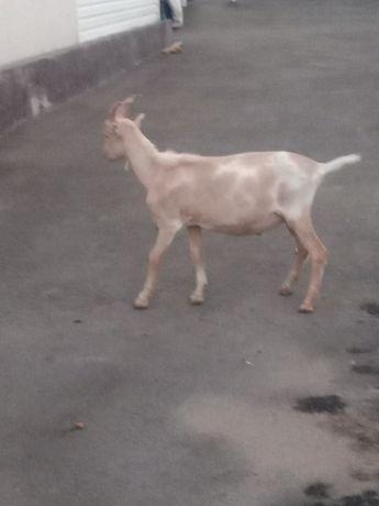 Очень срочно продам козла
