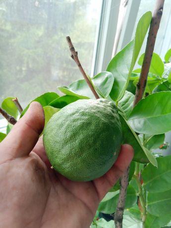 Лимон - грейпфрут