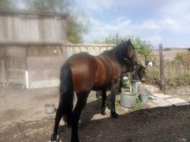 Продам коня мерень 5 лет обученный