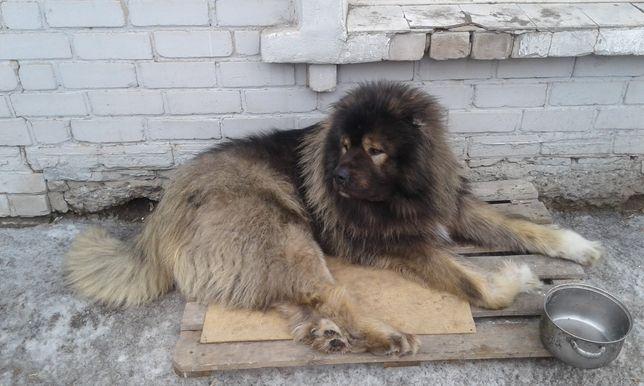 Вязка кавказская овчарка