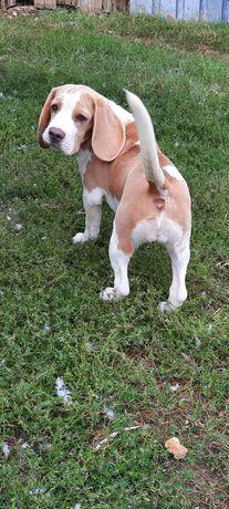 Beagle lemon-white