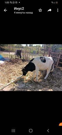 продам корову год и 2 месяца