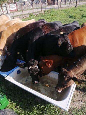 Vaci metis angus 3 ani