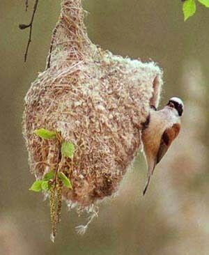 настоящее гнездо ремеза продам